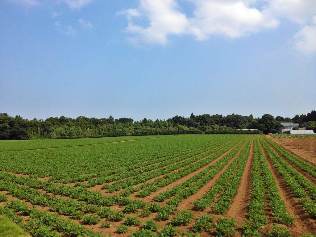 明治維新後に開墾された八街の落花生畑。八街市八街ろにて 撮影:吉川祐介 2017年